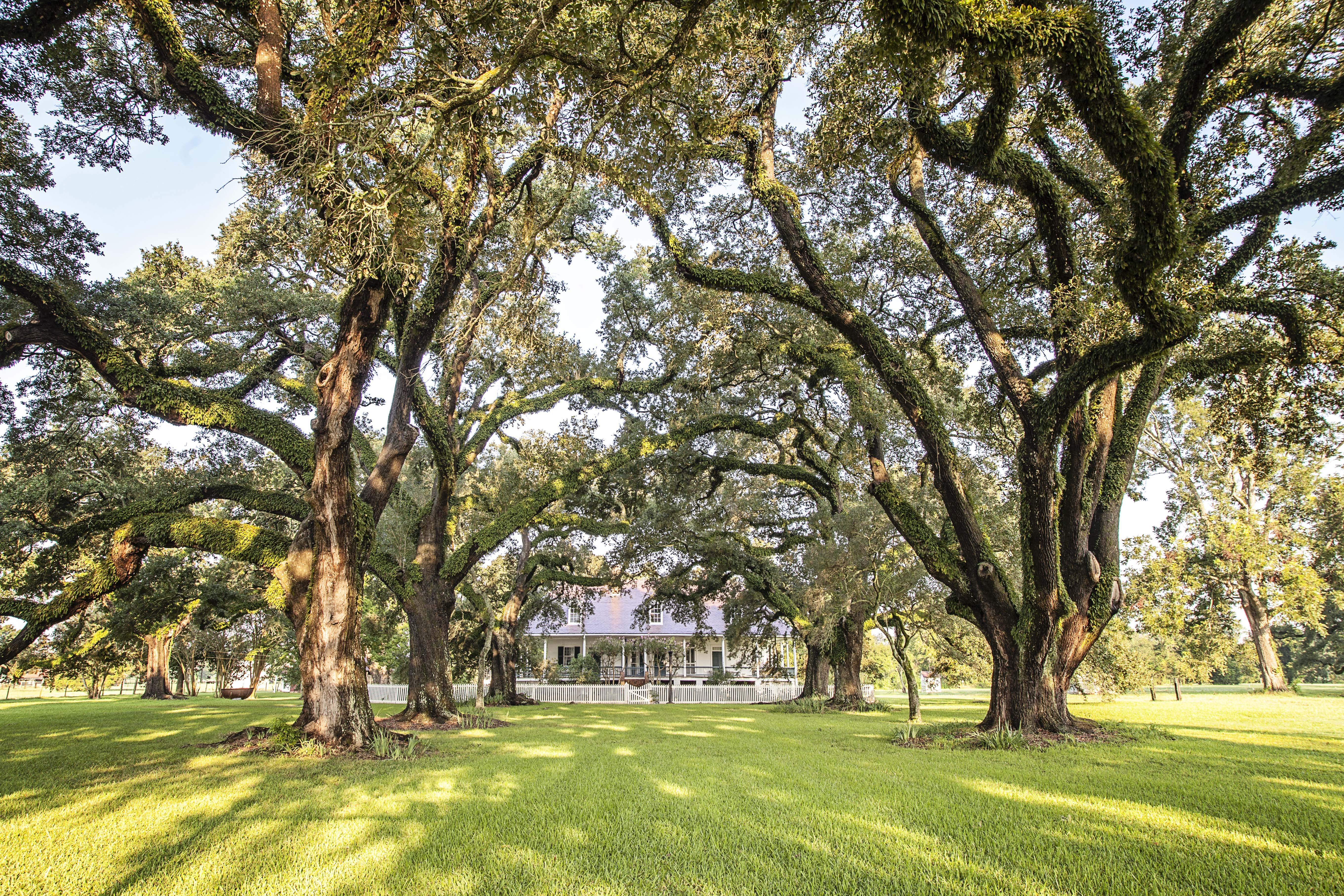 Large Live Oak trees from an Oak Allee on either side of the original entrance to the Main House.